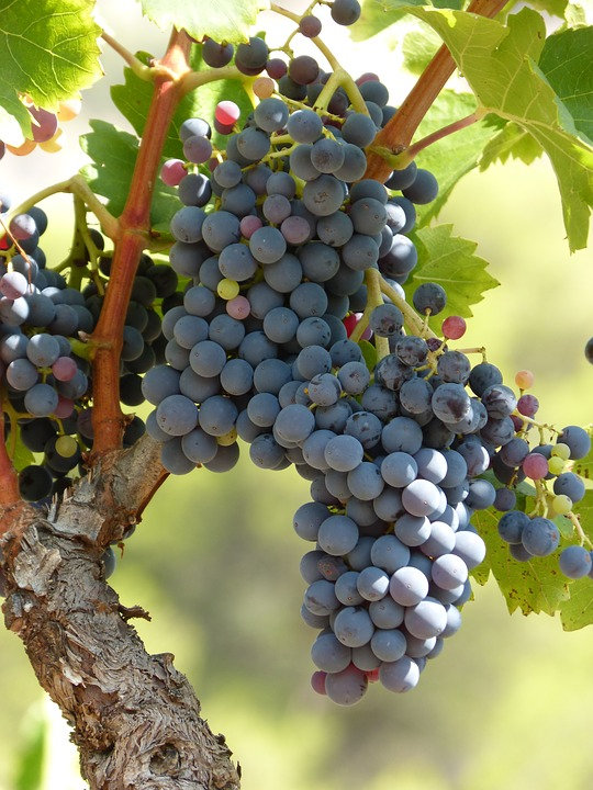 Vineyard, Vine, Strain, Grape, Black Grape, Viticulture