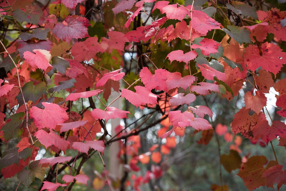 Grape Vine, Vine, Leaf, Autumn, Colourful, Red, Plant
