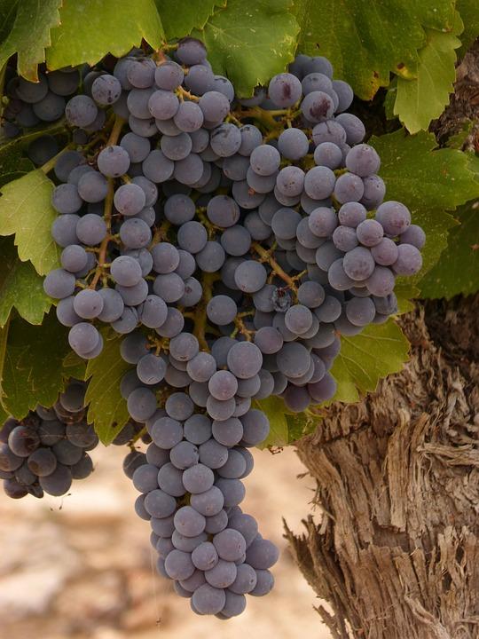 Grape, Cluster, Vine, Wine, Priorat, Strain