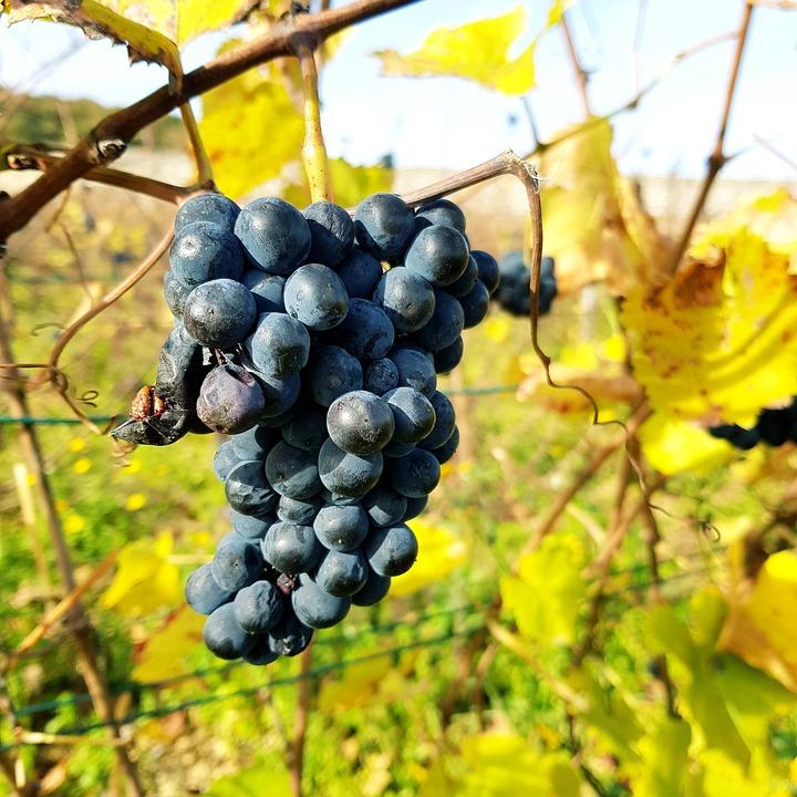 Grape, Fruit, Vine, Vineyard, Nature