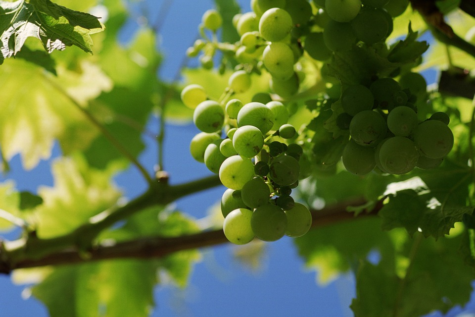 Grape, Grapes, Tros, Bunch Of Grapes, Viticulture