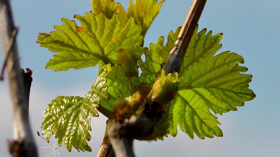Wine Leaf, Wine, Vine, Engine, Branch, Grape, Grow
