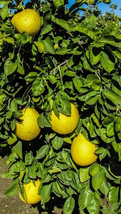 Cyprus, Mosfiloti, Grapefruit, Yard