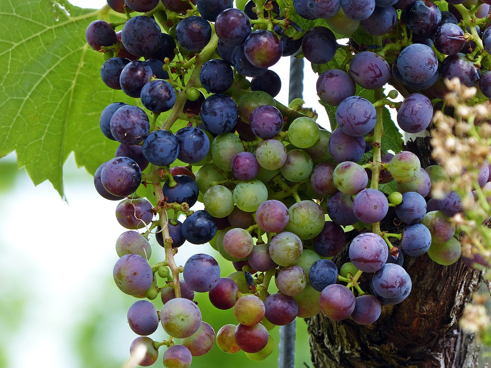 Wine, Grapes, Grapevine, Fruit, Vine, Winegrowing, Eat