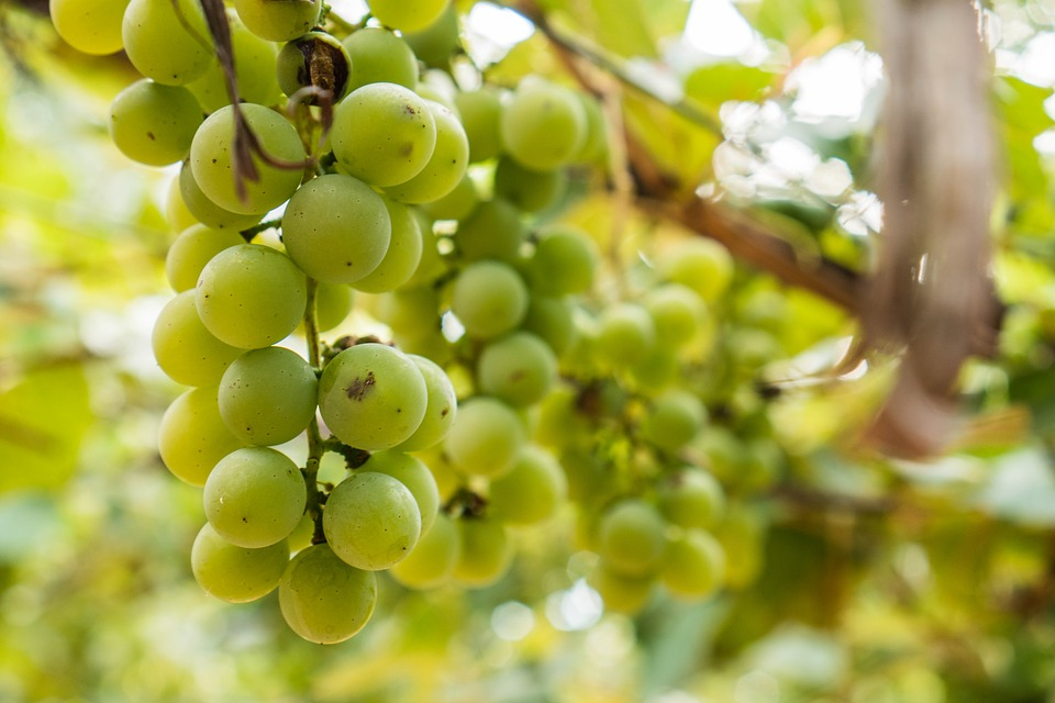 Branch, Food, Fruits, Grapes, Grapevine, Hanging, Macro