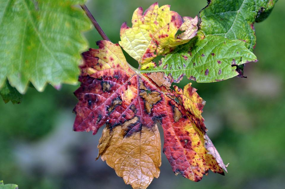 Autumn, Grape Leaves, Grapes