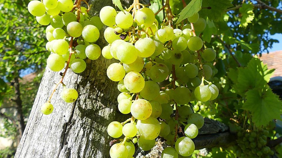 Grapes, Grapevine, Green Grapes, Fruit