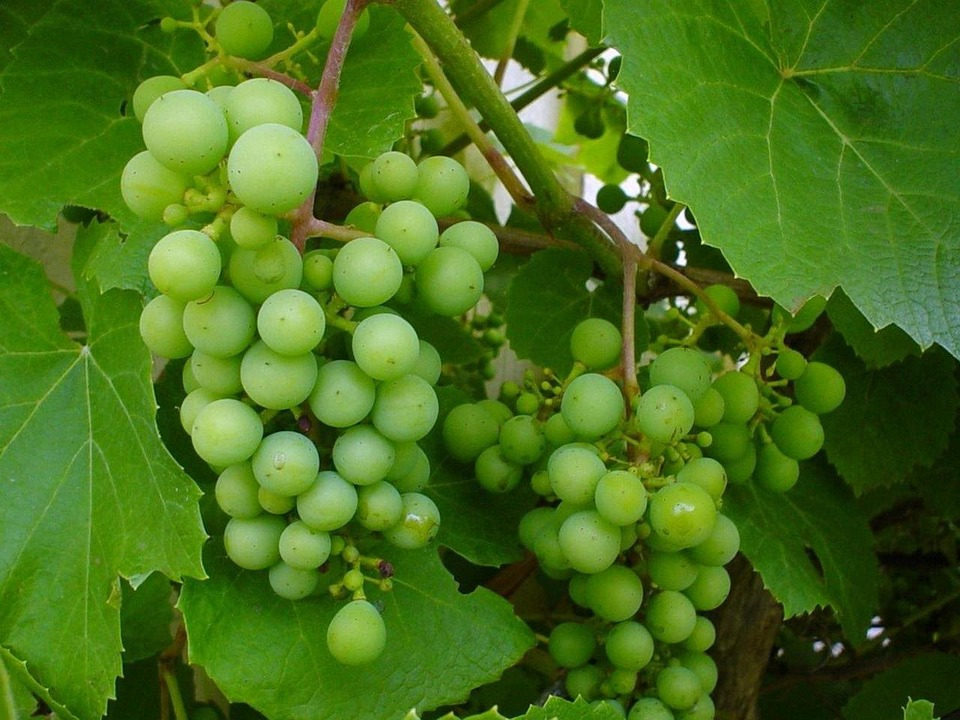 Grapes, White Grapes, Grape Stock, Vine, Fruit, Sweet