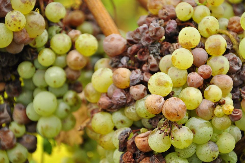 Grapes, Green, Winegrowing, Vine, Green Grapes, Close