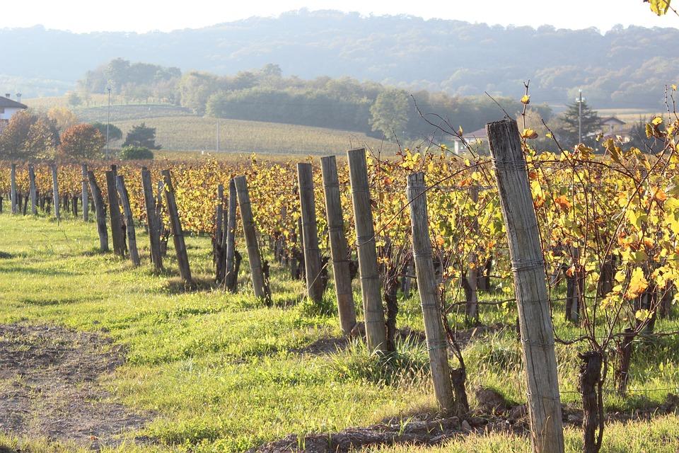 Autumn, Vineyard, Grapes, Fields, Forest, Nature, Farm