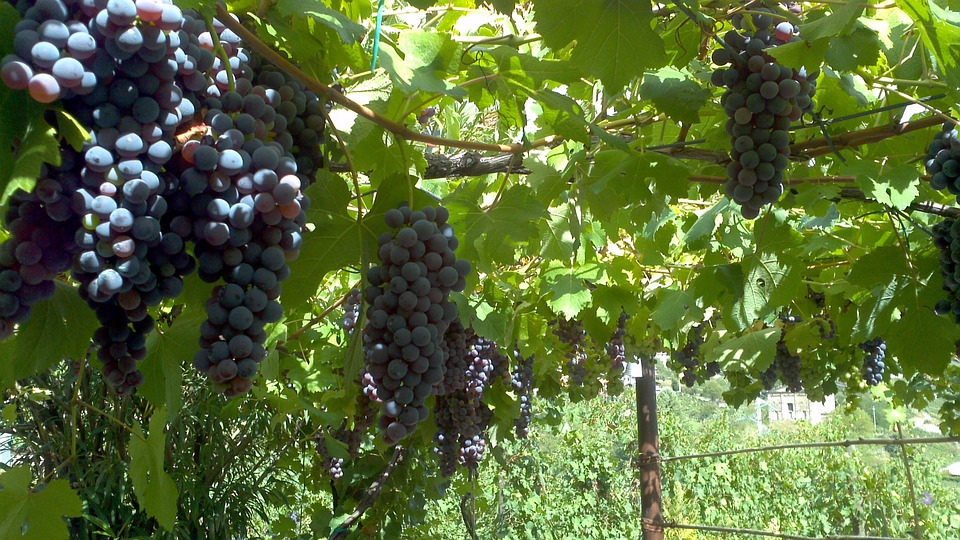 Grapes, Grapevine, Agricultural, Fruit, Vineyard