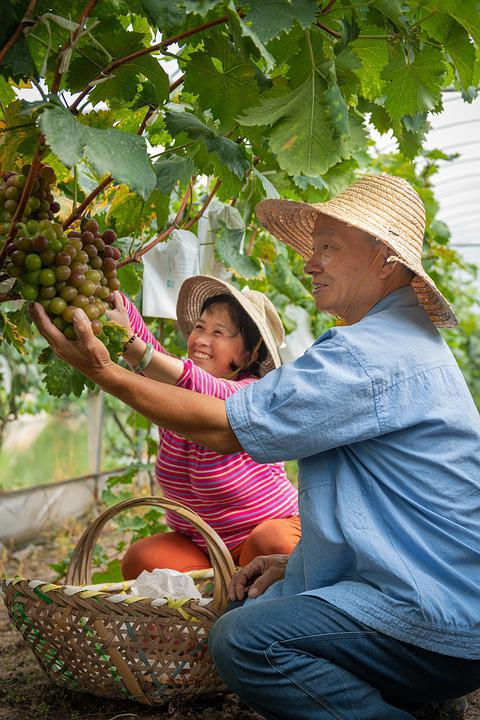 Harvesting, Grapes, Hand Picked, Shanghai, Vineyard
