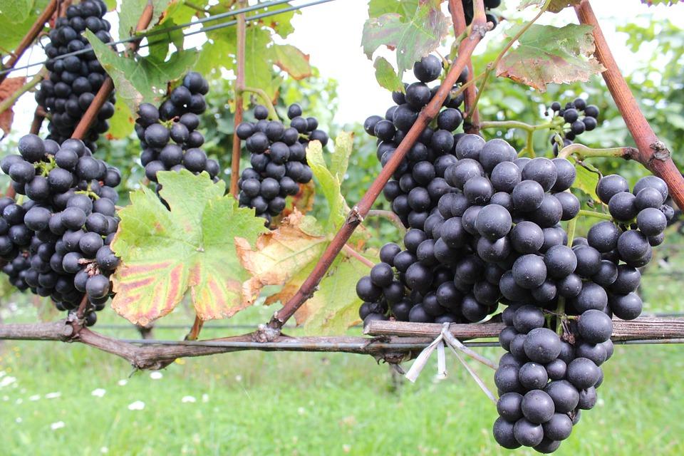 Grapes, Vintage, Red Grapes, Vines, Vineyard, Autumn