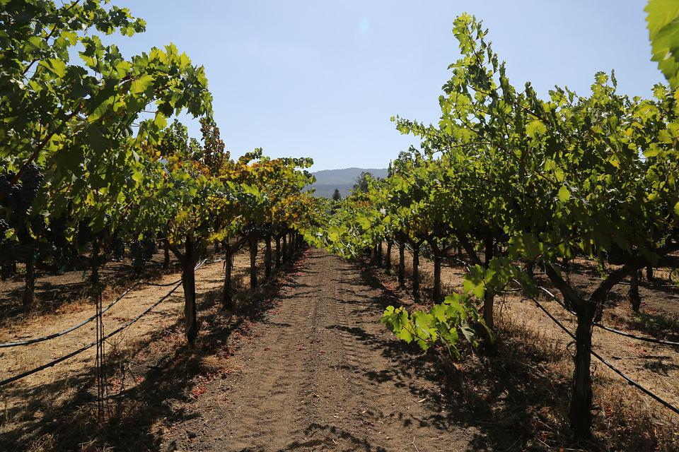 Napa Valley, Petite Verdot, Grapes, Wine, Wine Country