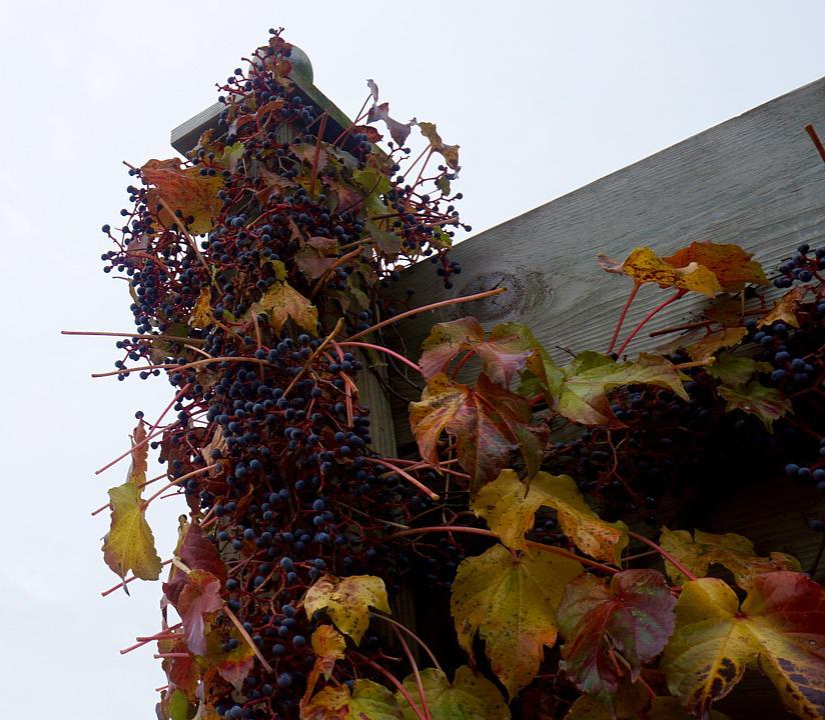 Grapes, Fall, Viticulture, Winery, Onalaska, Wisconsin