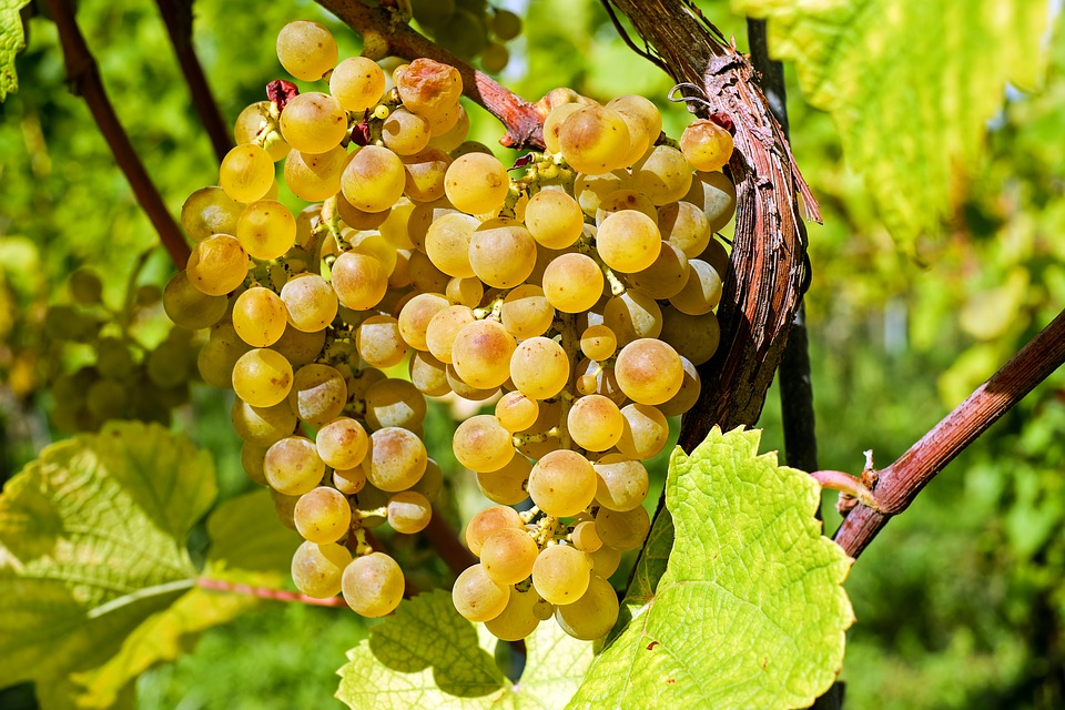 Grapes, Fruit, Gold, Table Grapes, Healthy, Grapevine