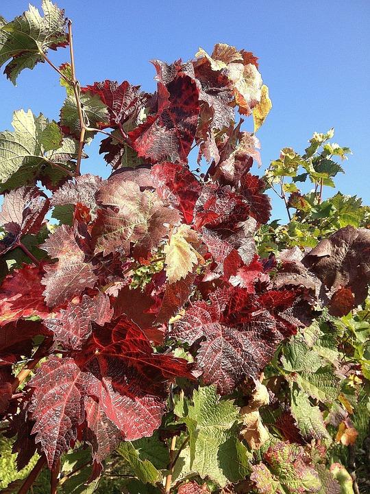 Grapevine, Autumn, Vineyard, Vine, Red, Ranke
