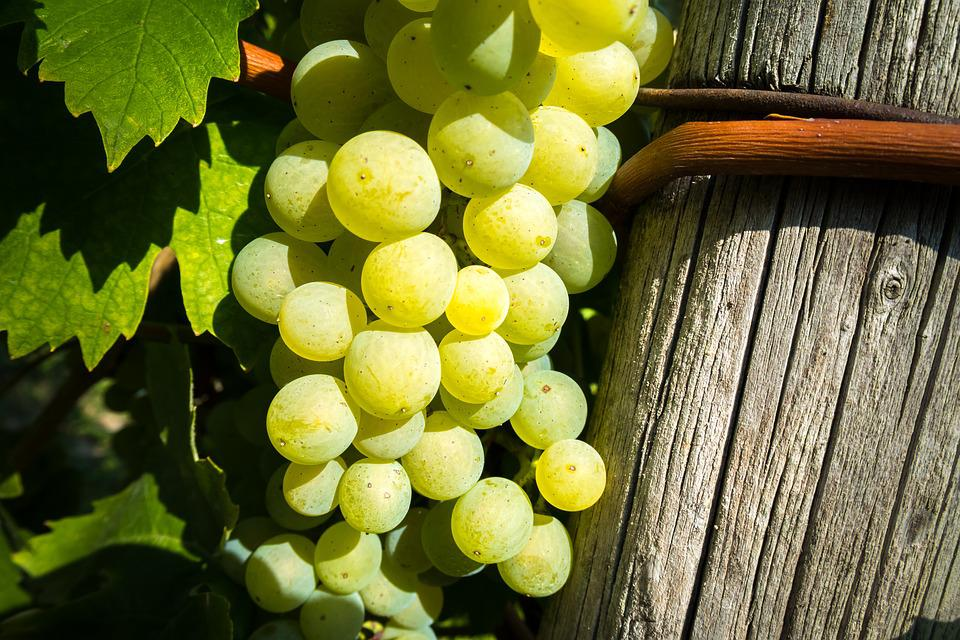 Wine, Vine, Grape, Rebstock, Grapevine, Grapes