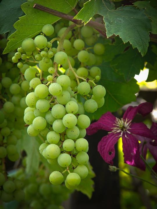 Grapevine, Grapes, Table Grapes, Vine, Grape Stock
