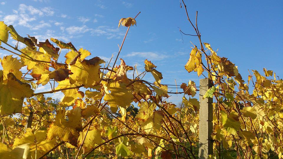 Grapevine, Autumn, Leaves, Winegrowing, Vine
