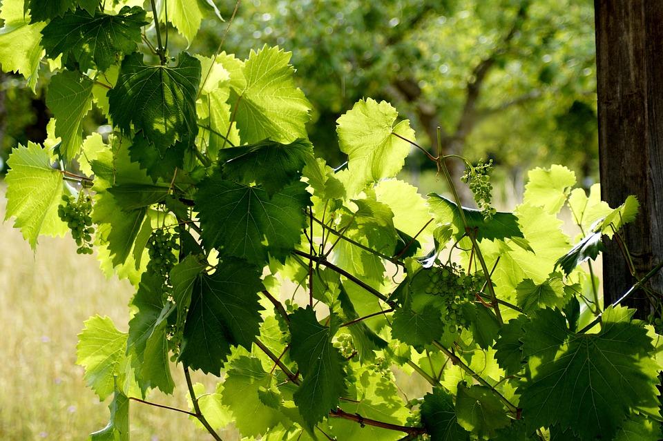 Grapes, Nature, Fruit, Green, Grapevine, Wine, Arbor