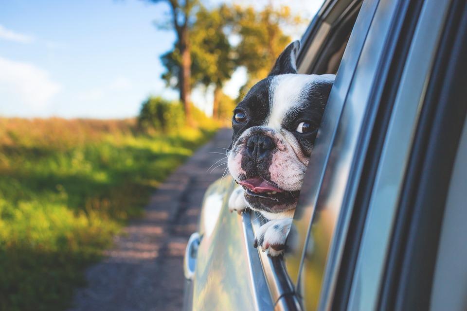 Adorable, Animal, Canine, Car, Cute, Dog, Grass, Pet