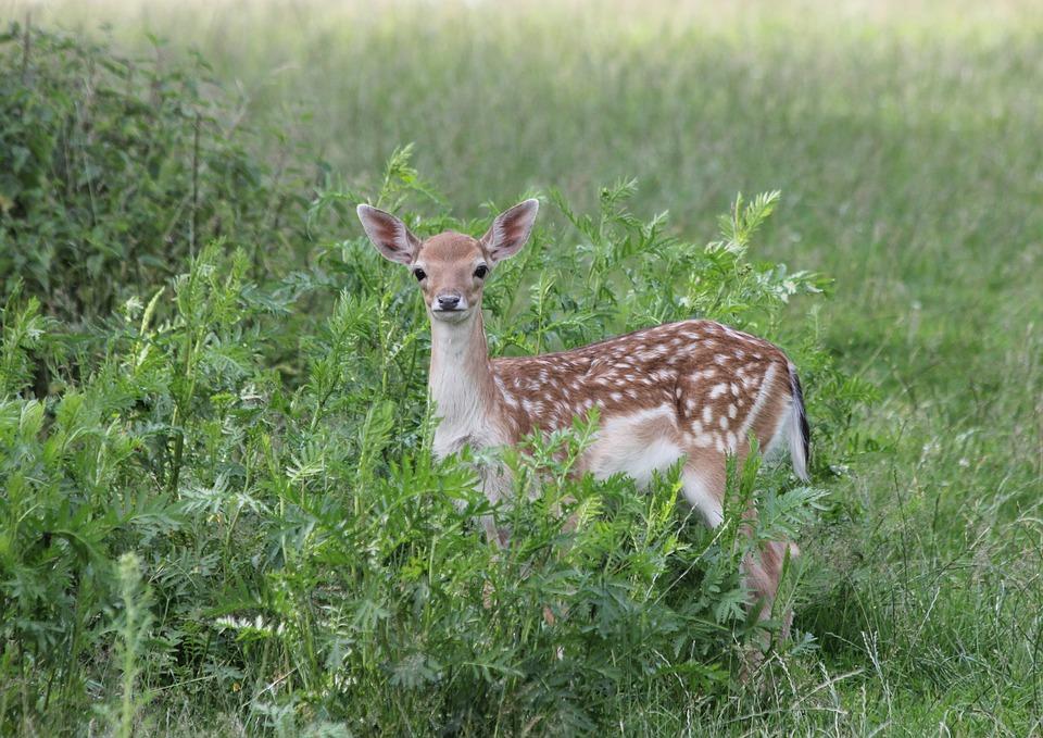 Fallow Deer, Kitz, Grass, Animal World, Animal