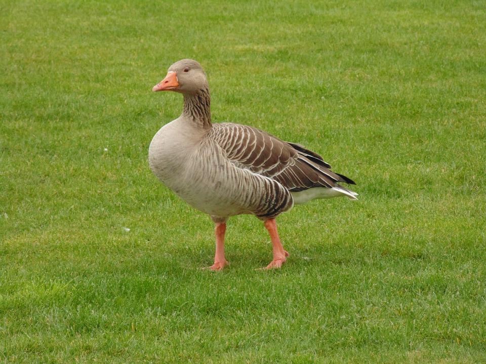 Goose, Grass, Nature, Bird, Animal