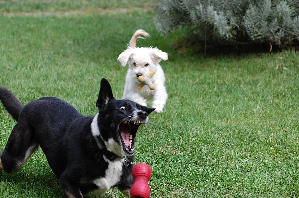 Dogs, Playing, Ball, Fetch, Teeth, Animal, Fun, Grass