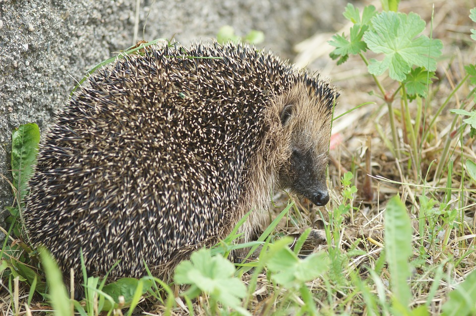 Hedgehog, Grass, Animals, Nature, Animal