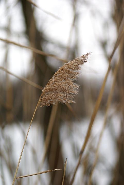 Reed, Lake, Nature, Bank, Grass, Autumn