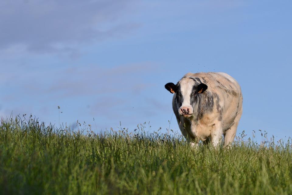 Cow, Belgian Blue, Mammal, Meadow, Nature, Grass