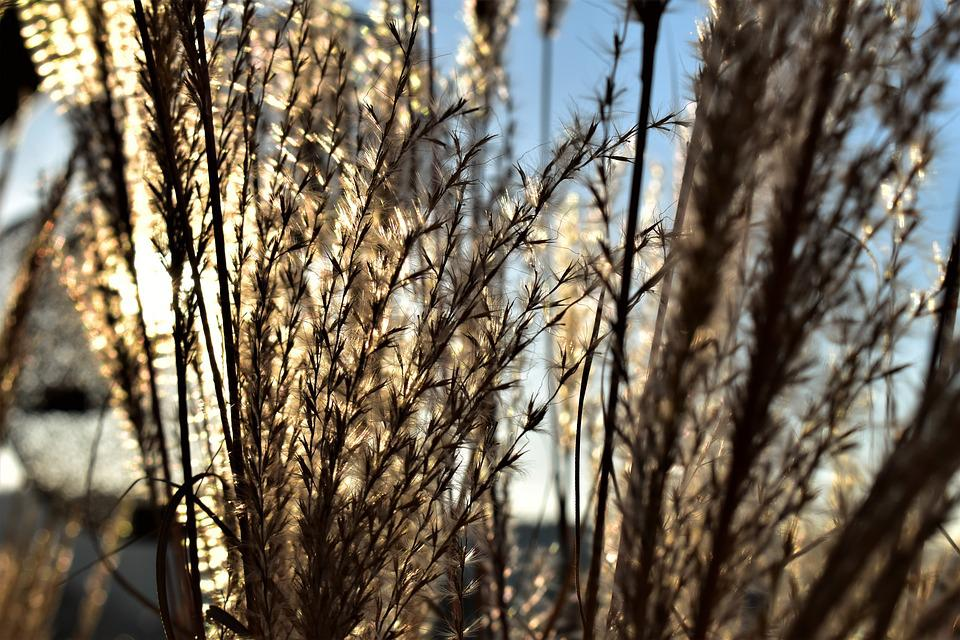 Grass, Blade Of Grass, Nature, Plant, Grasses, Autumn