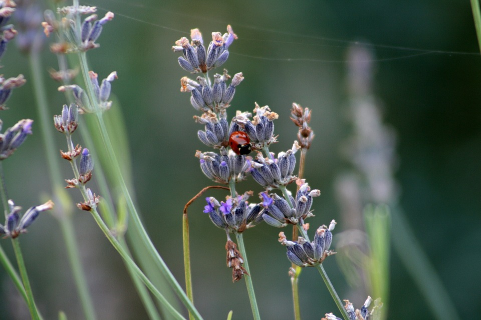Lavender, Ladybug, Insect, Blooms At, Color, Grass