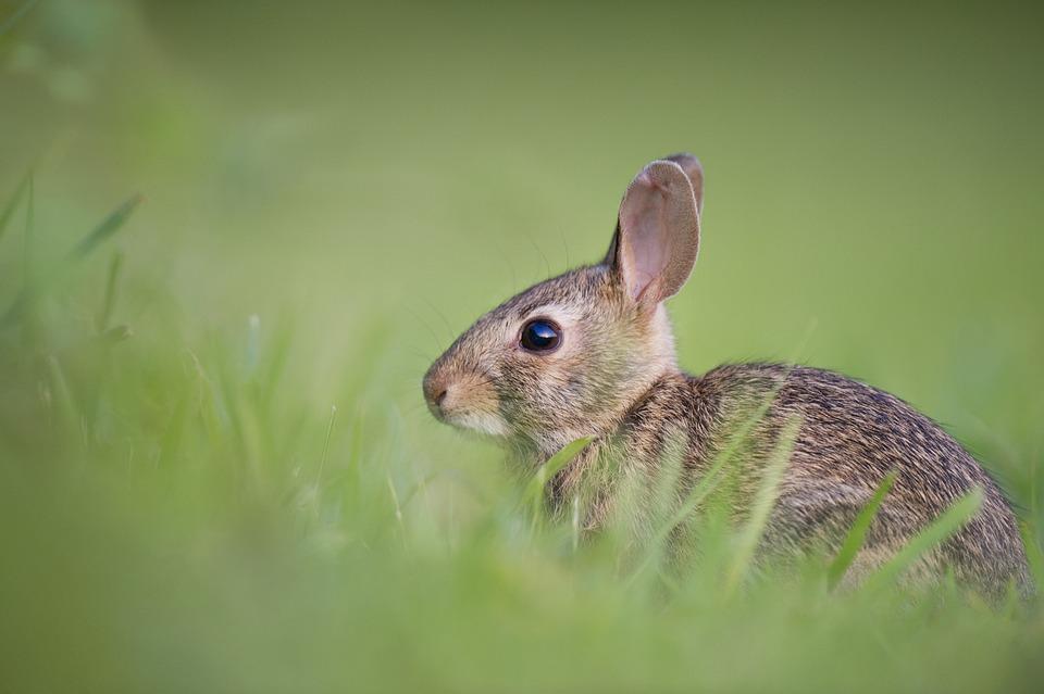 Adorable, Rabbit, Bunny, Animal, Cute, Grass, Nature
