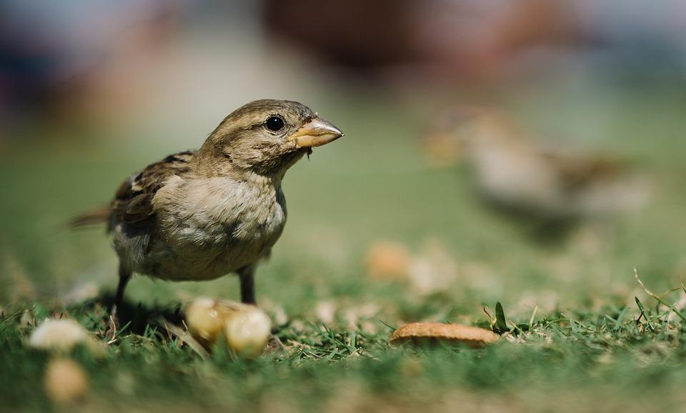 Animal, Avian, Bird, Cute, Feathers, Grass, Nature