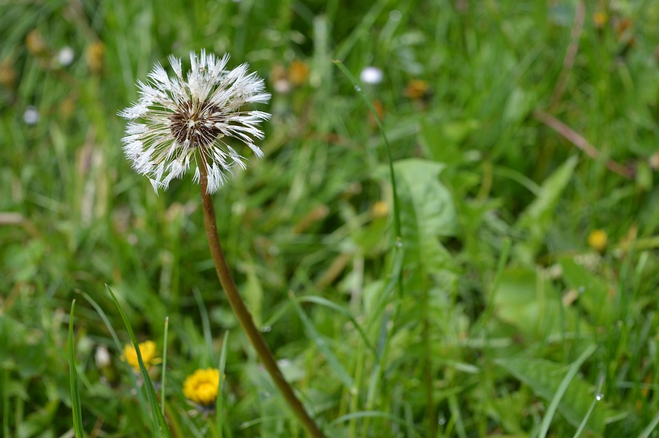 Dandelion, Grass, Nature, Green