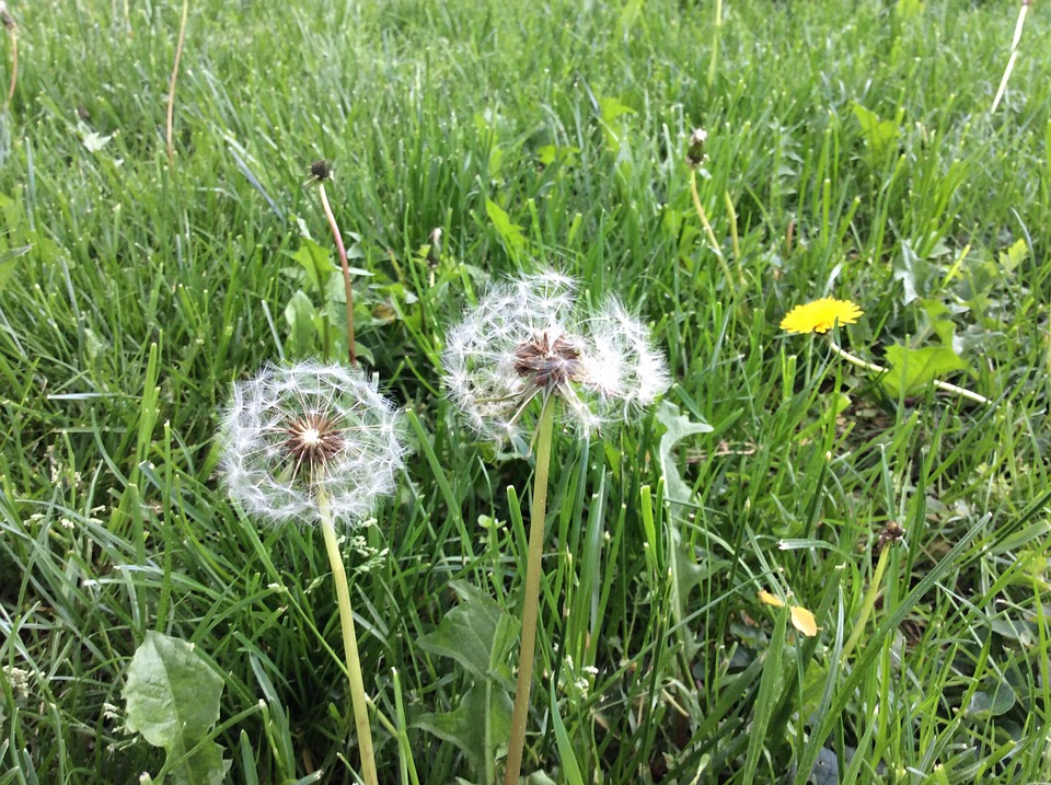 Dandelion, Meadow, Nature, Macro, Close, Grass, Spring