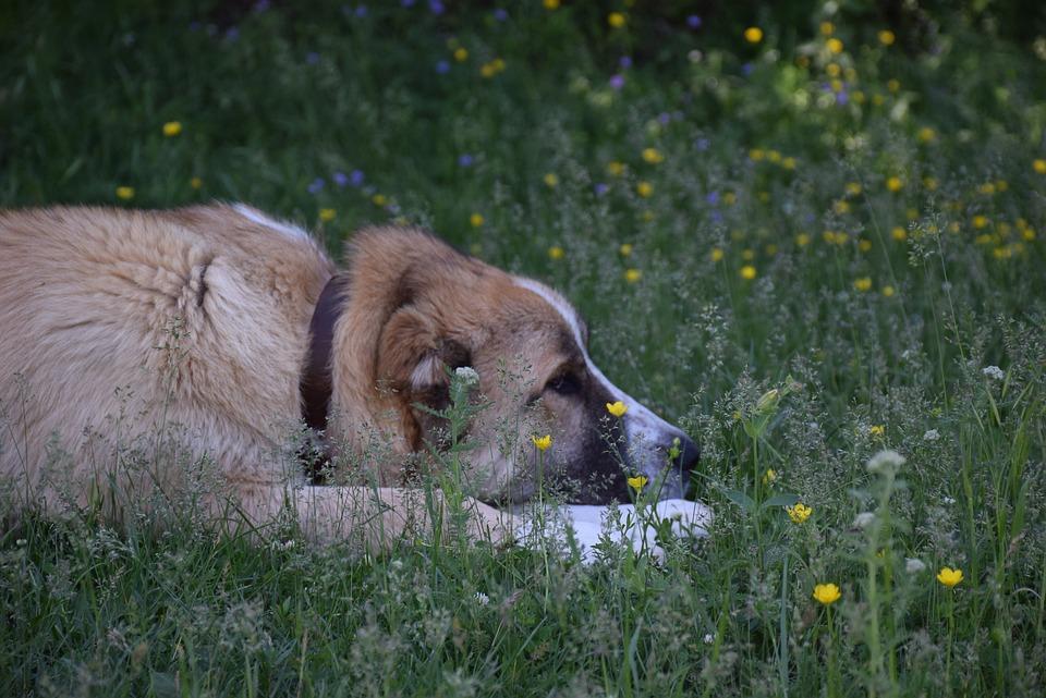 Dog, Meadow, Grass