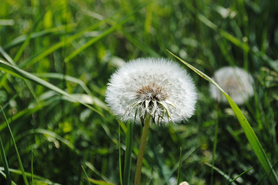 Dust Flower, Daisies, Grass