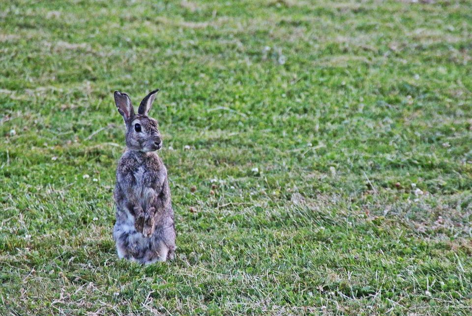 Wild Rabbit, Rabbit, Ear, Grass, Cute, Meadow, Wild