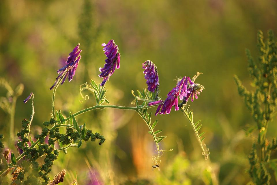 Flower, Violet, Bird Vetch, Plant, Grass, Edge Of Field