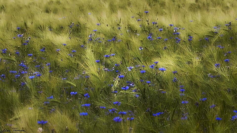 Meadow, Flower, Field, Grass, Nature, Barley