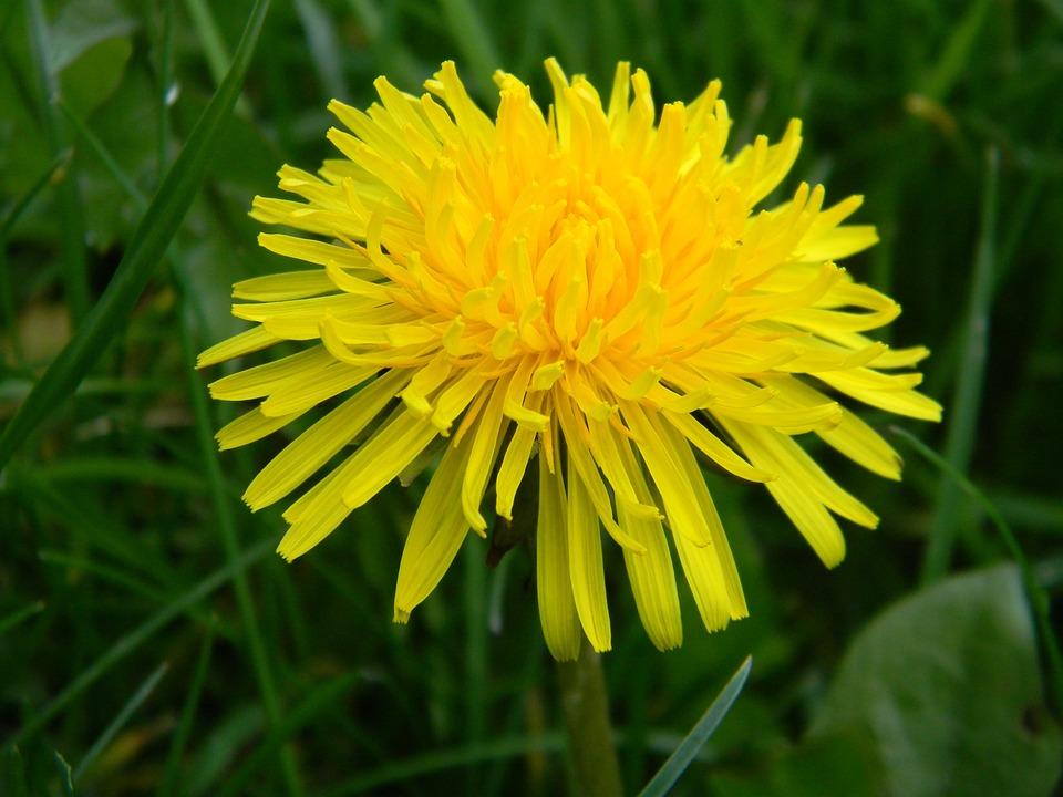 Dandelion, April, Nature, Flower, Flora, Spring, Grass