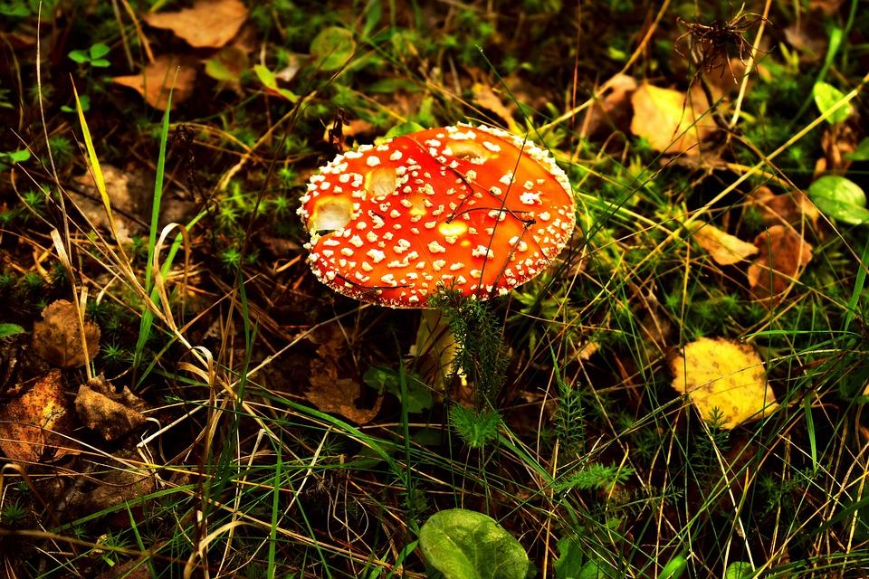 Mushroom, Fly Agaric, Fly Amanita, Forest Floor, Grass