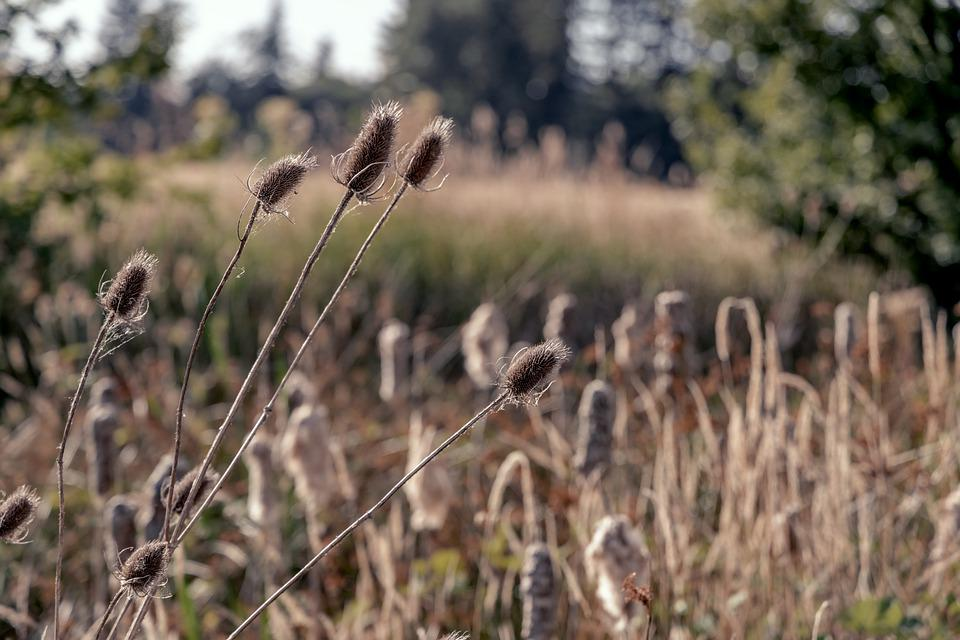 Reed, Grass, Flowers, Dried Flowers, Plant, Foliage