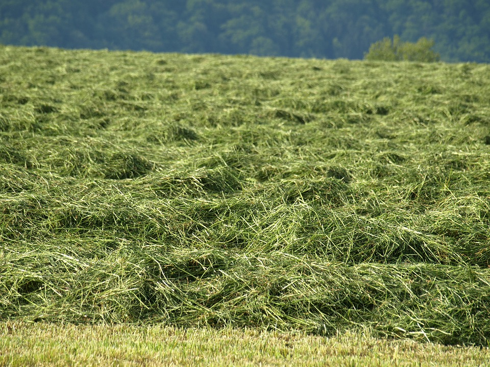 Hay, Rows Together Meet, Grass, Forage, Mowed