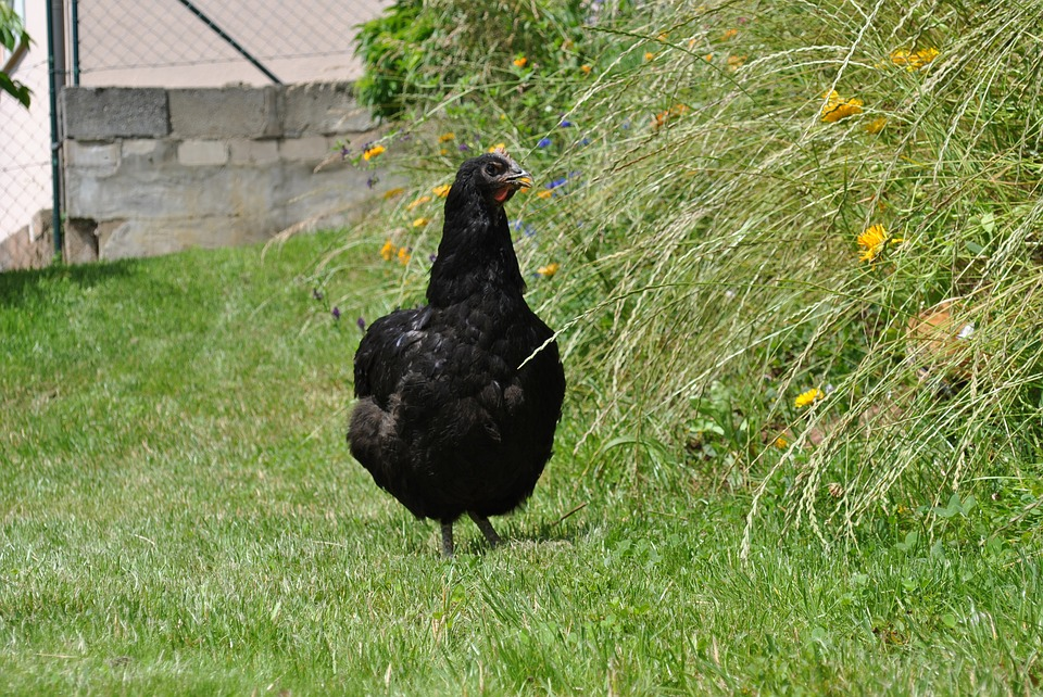 Jersey Giant, Hen, Chicken, Poultry, Free Range, Grass
