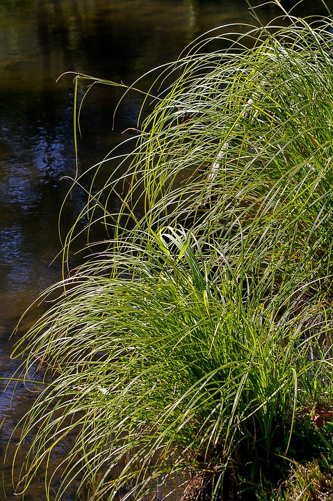 Grass, Green, Water, River, Wild, Clumps, Nature, Fresh