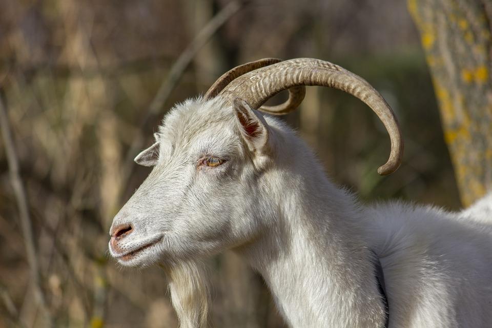 Goat, Animal, Grass, Dry, Autumn